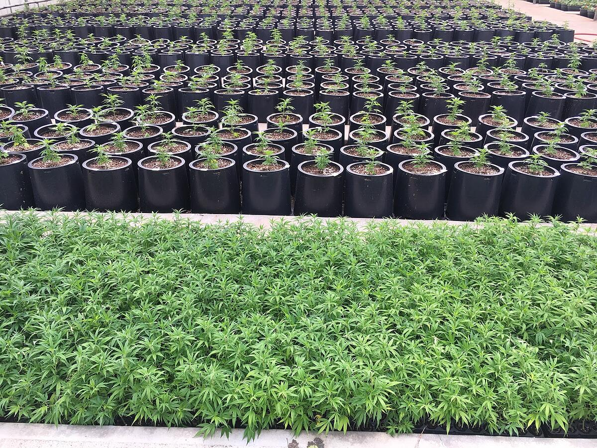 Blue Forest Farms CBG Berry Clones Seedlings